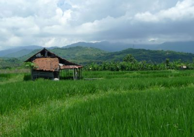 ricefield-view