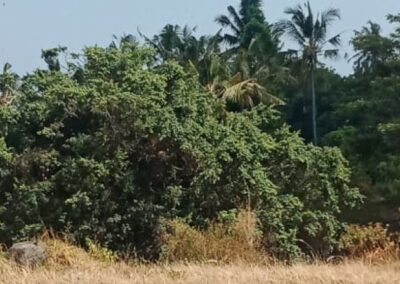 255380-land-for-sale-with-rice-field-view-in-lovina-4-794